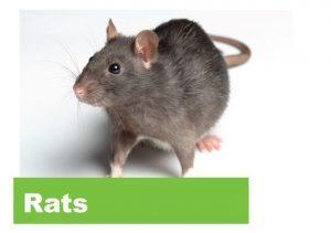 Jasa Pengedalian Tikus
